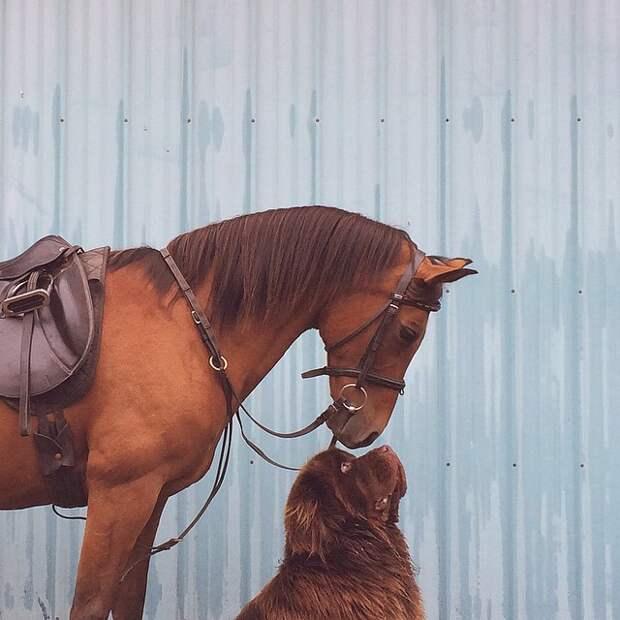 Дружба мальчика с двумя огромными собаками и лошадью лошадь, мальчик, собака