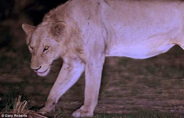 Львы три года кормили сородича, попавшего в капкан