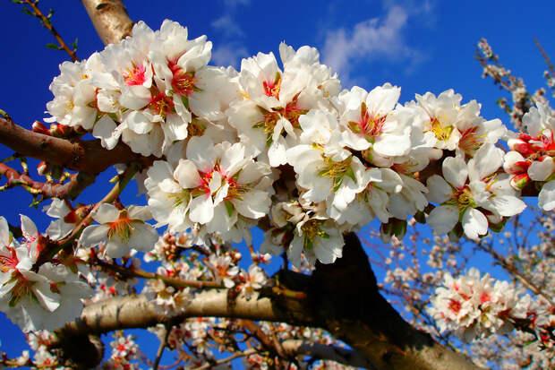 Цветущее миндальное дерево. (Alfonso)