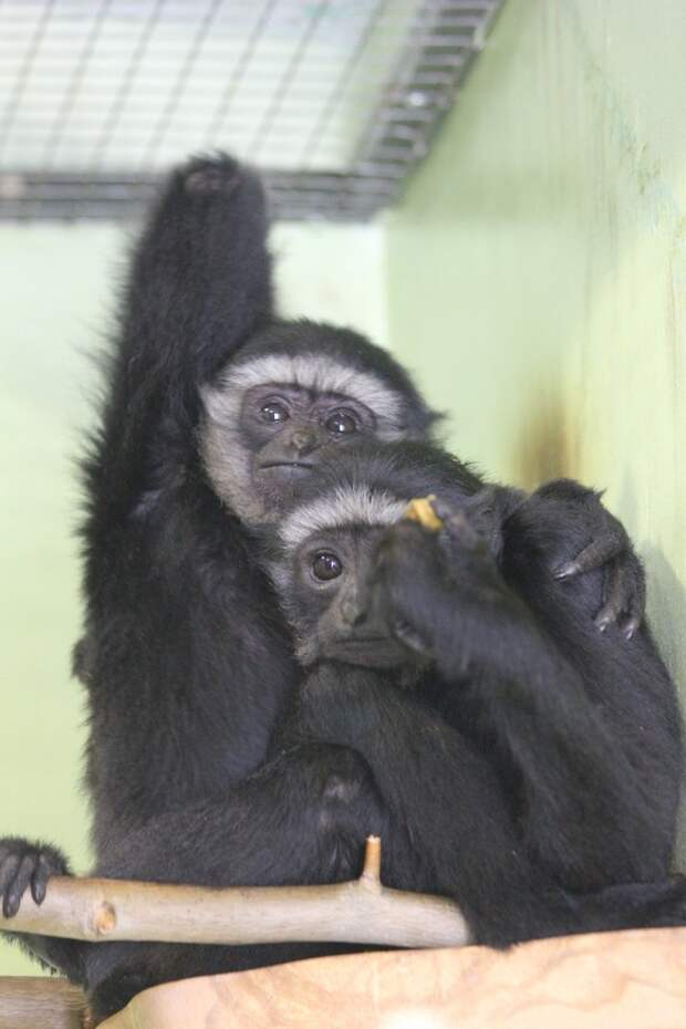 Чернорукие гиббоны поселились в зоопарке Удмуртии