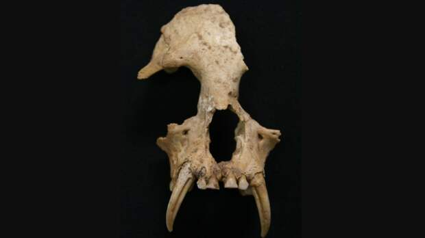 Частично сохранившийся череп J. imperialis / ©Samuel T. Turvey