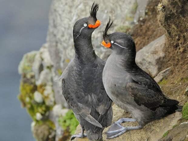 Необычный клюв красно-оранжевого цвета имеет такой изгиб, что кажется, как будто у птицы веселая улыбка.