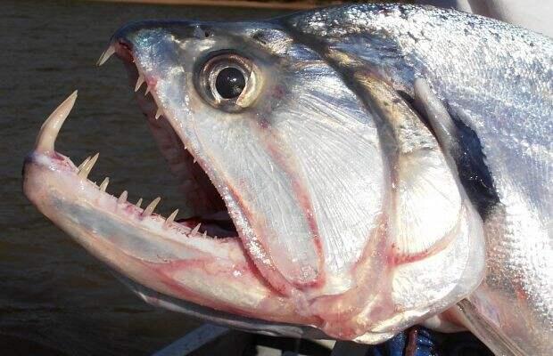 4. Скумбриевидные гидролики Опасно для жизни, морская фауна, рыбалка, рыбы