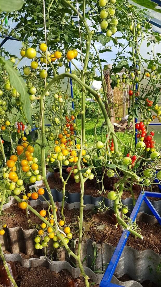 10 сортов томатов черри которые гарантированно пропишутся в вашем огороде !!!!