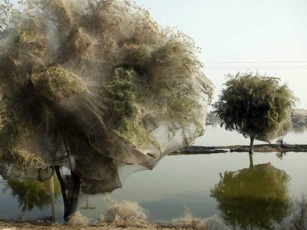Паутинные деревья животные, факты