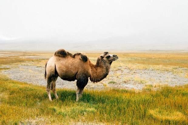 Двугорбый верблюд Ваханский коридор, афганистан, вид, горы, природа, путешествие, фотомир