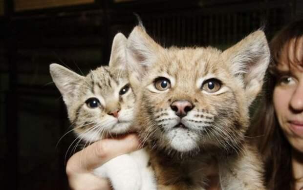 История дружбы кошки и рыси