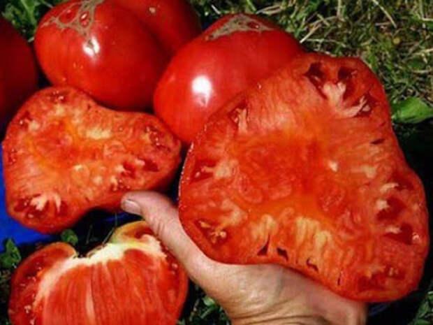 Бражка для урожая помидор. Ускоряет созревание помидор в августе и сентябре!