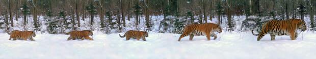 В фотоловушку попала многодетная тигриная семья. Фото: Сихотэ-Алинский заповедник