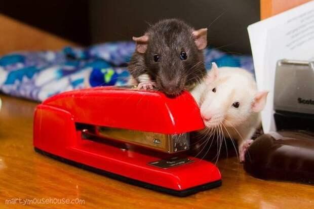 И не знают, как пользоваться офисными принадлежностями животные, крыса, милота, позитив