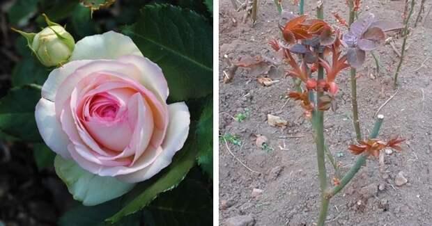 4 полезных совета по уходу за розой в апреле. Обильное цветение не заставит себя долго ждать
