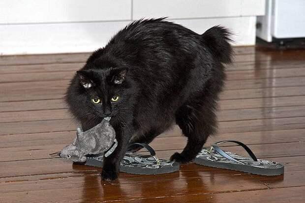 Кимрик, фото кошки фотография изображение породы кошек