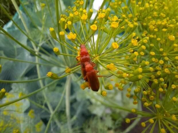 Защитники сада. Не трогайте этих жуков! Рыжие мягкотелки - наши помощники
