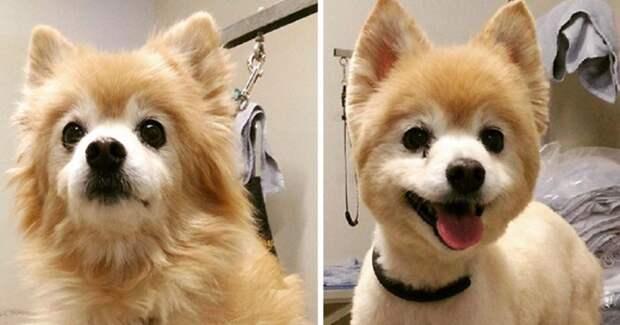 Это моя собака? 8 милых фото песелей, которых не узнать после новой стрижки