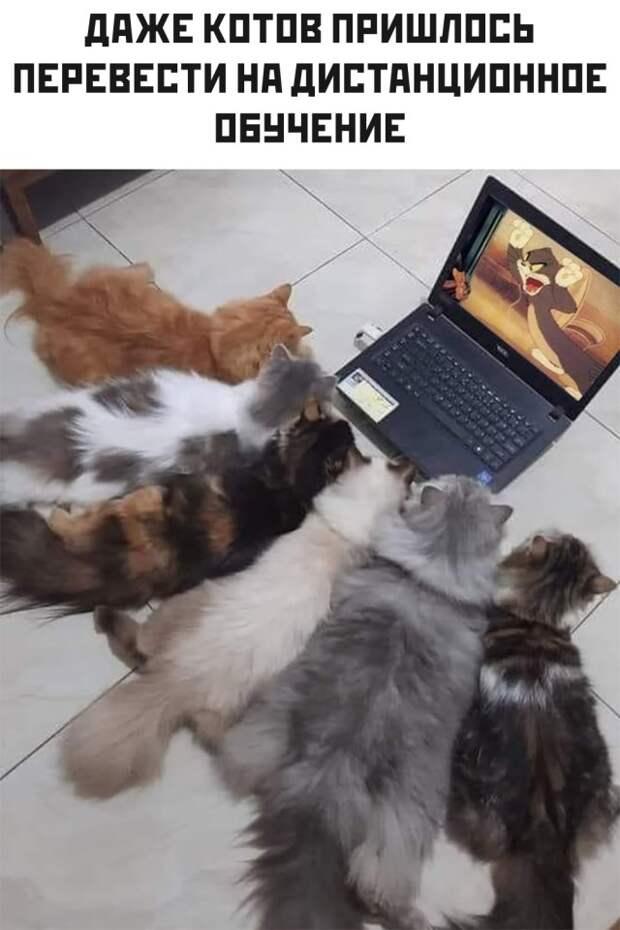 Коты на дистанционке