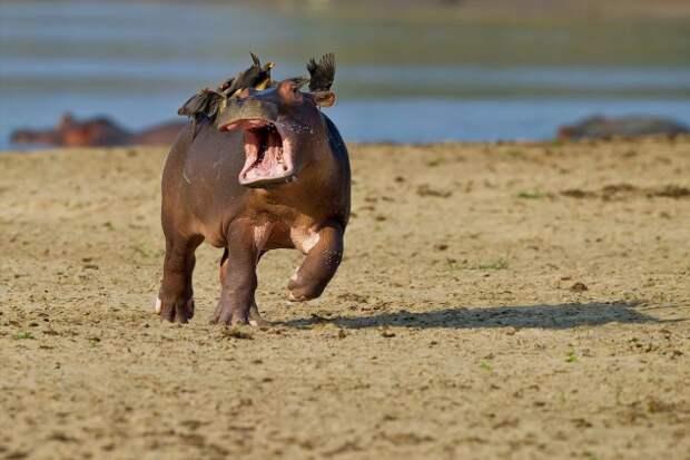 Цеце: Опаснее льва, крокодила и бегемота вместе взятых. Секрет легендарной мухи-убийцы (9 фото)