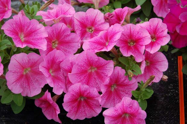 Петуния многоцветковая (генетически компактная) (Petunia multiflora)