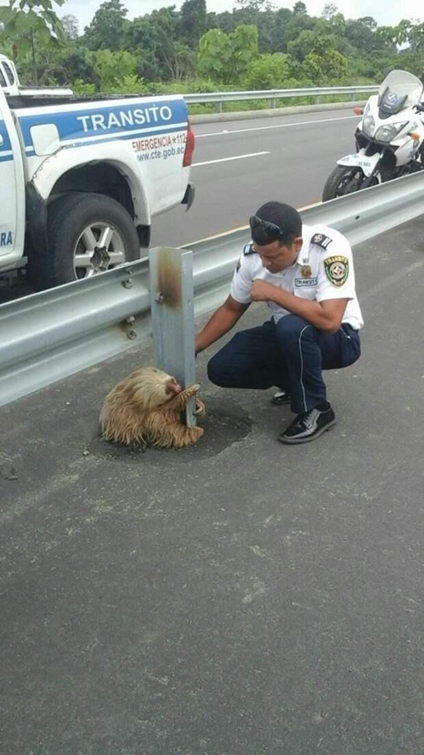 Почему лень перейти всю дорогу? дорога, ленивец, полиция, эквадор