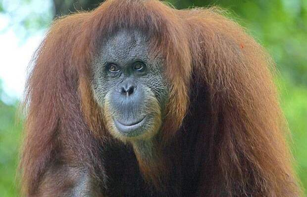 Индонезия. домашние животные, животные, интересеное, страны, факты