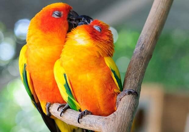 Поцелуй попугаев.