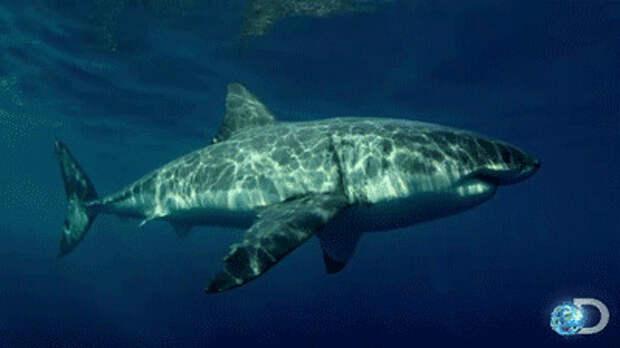 Белая акула, фото