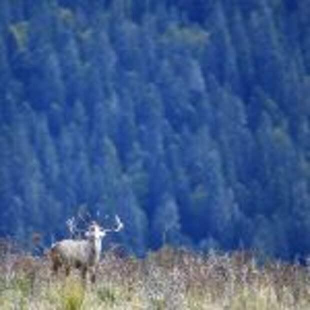 В Кавказском заповеднике подвели итоги учета численности благородного оленя