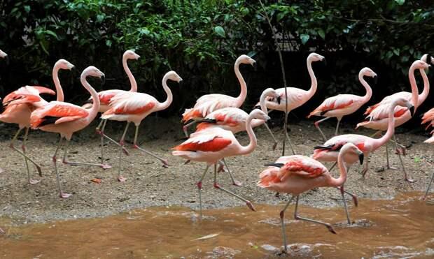 Фламинго с протезом 14