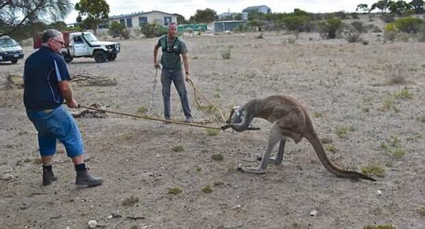 В Австралии двое мужчин спасли кенгуру от лейки на голове