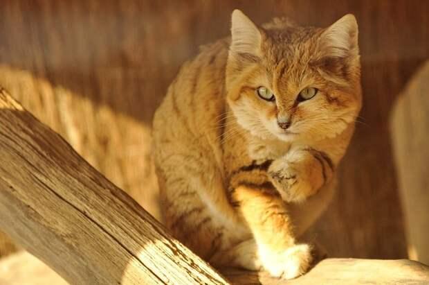 Барханные кошки — даже будучи взрослыми они выглядят как котята