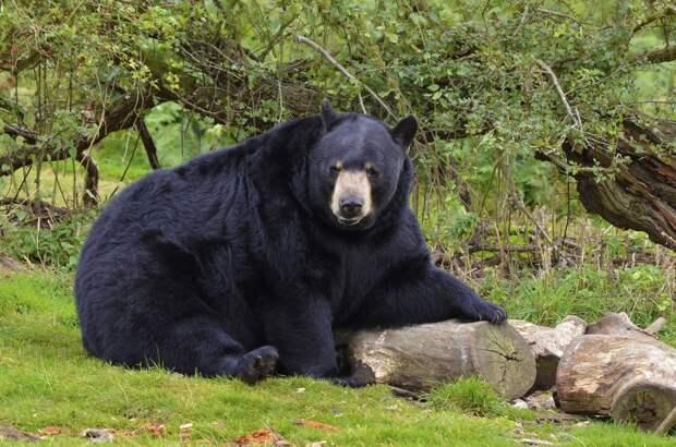 В США нашли пропавшего мальчика, который уверяет, что его спас медведь