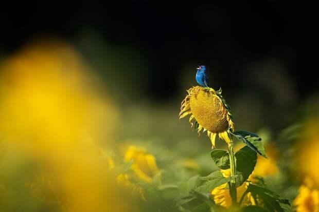 Овсянка цвета индиго. Фото: Скотт Суриано