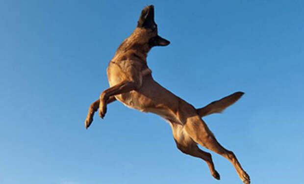 Овчарка Малинуа: собака, которая может запрыгнуть на второй этаж