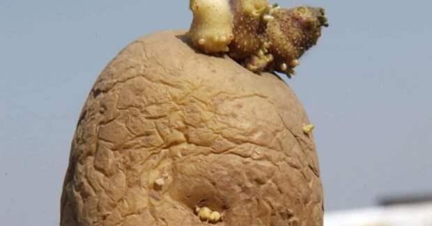 Предупреждение, не ешь такой картофель, в нём яды.