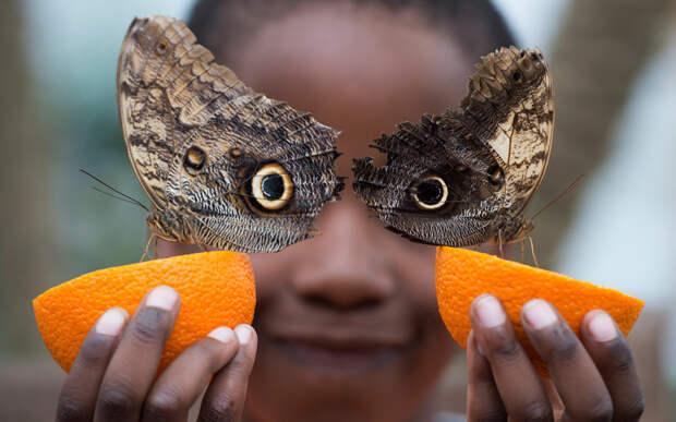 Бабочки пьют апельсиновый сок на выставке Sensational Butterflies в Музее естествознания в Лондоне.