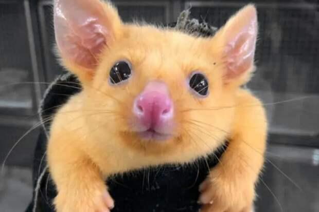 Покемоны существуют: в Австралии нашли желтого поссума, который так похож на Пикачу