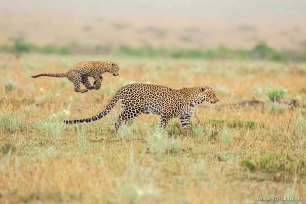 Три поколения леопардов
