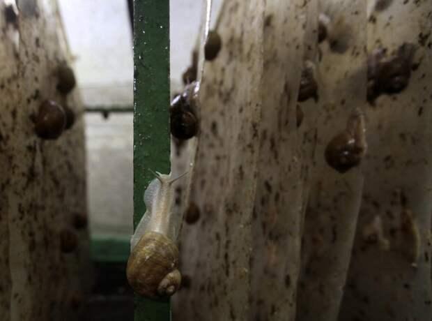 Садовые улитки (Helix Aspersa).