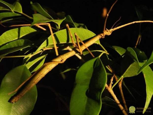 Палочники - привидения в мире насекомых