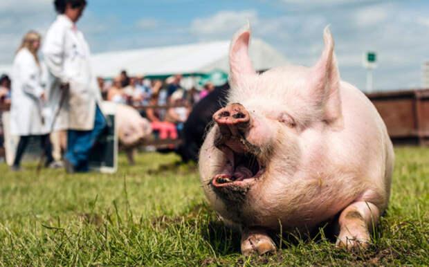 Одна из участниц традиционного соревнования «Человек и его свинья», Йоркшир, Англия.