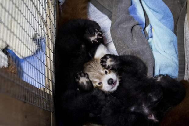 Детёныш малой панды