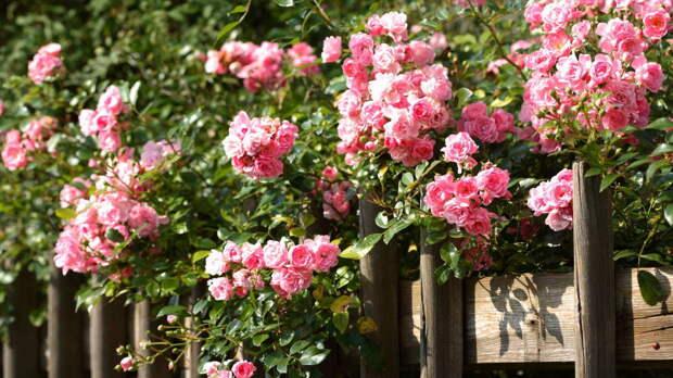 Вьющиеся однолетники и многолетники: растения, украшающие сад