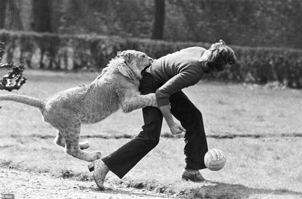 Игра в футбол еще никогда не была такой увлекательной Кристиан, возвращение животных, домашний любимец, животные и люди, история любви, лев, реабилитация, спасение львенка
