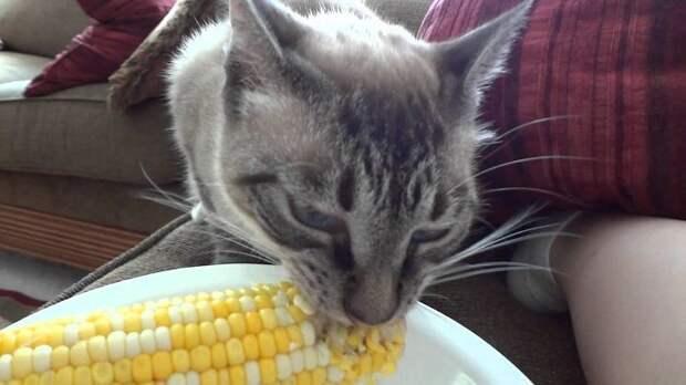 кошка ест кукурузу
