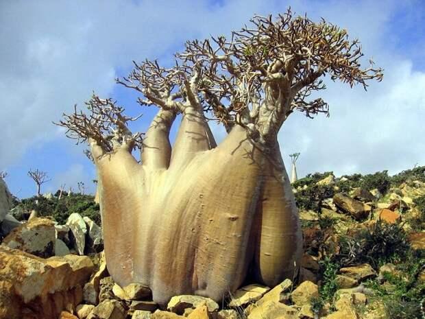 Socotra13 Удивительный остров Сокотра