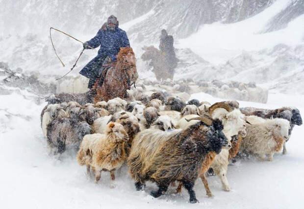 Пастух со своими овцами на северо-западе Китая