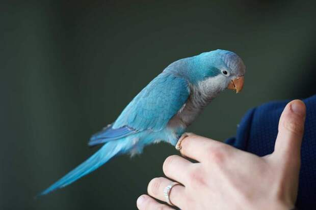 Обучение попугая речи