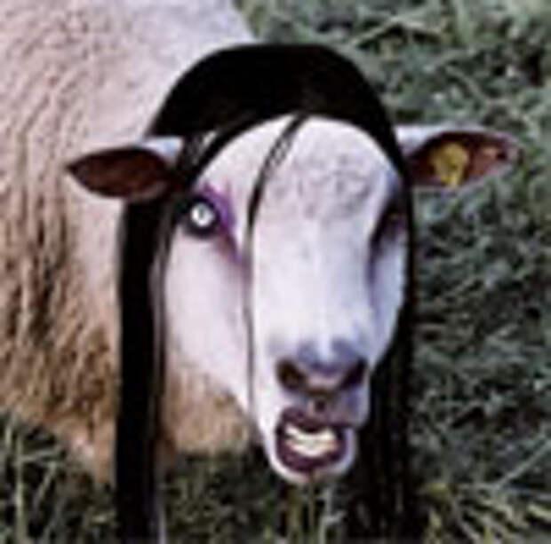 В Чехии завелись готичные овцы