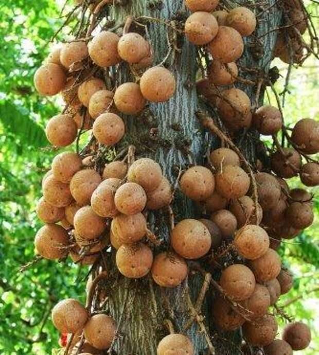 Полезные свойства масла бразильского ореха