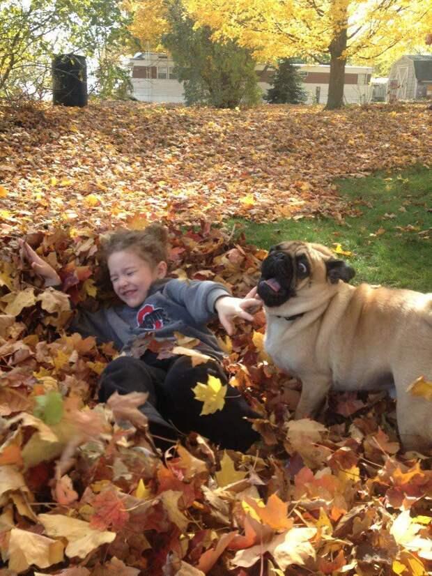 Мопс, который только что раскрыл в себе боязнь осенних листьев собака, юмор
