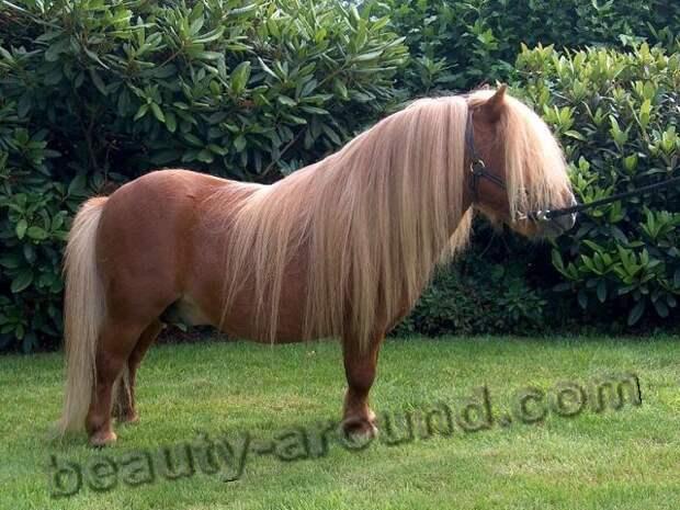 Шетлендский пони породы лошадей